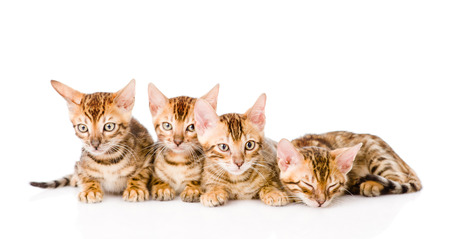 prionailurus: group bengal kittens looking at camera. isolated on white background Stock Photo