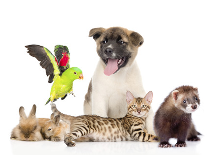 Große Gruppe von Haustieren. Isoliert auf weißem Hintergrund Standard-Bild - 32324779