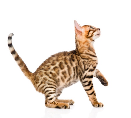 prionailurus: playful Bengal cat looking up. isolated on white background