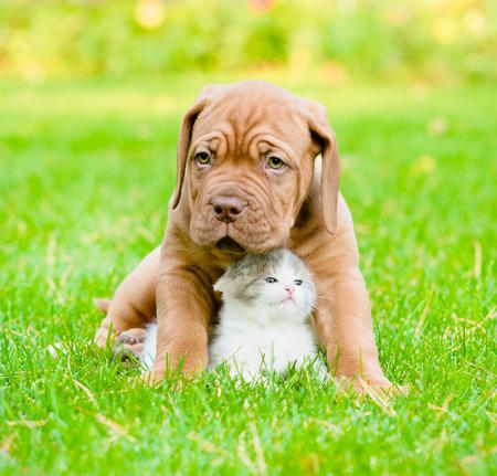 Bordeaux puppy dog hugs newborn kitten on green grass photo