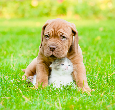 Bordeaux puppy dog hugs newborn kitten on green grass Stock Photo
