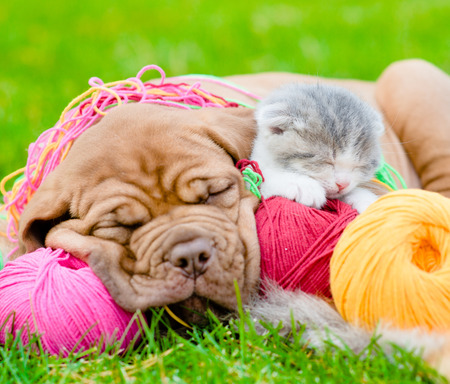 clew: Bordeaux puppy dog and newborn kitten sleeping together on green grass