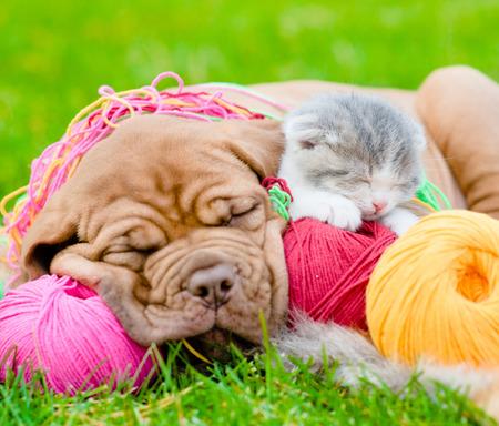 summer dog: Bordeaux puppy dog and newborn kitten sleeping together on green grass