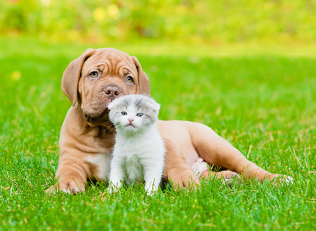 Bordeaux puppy dog with newborn kitten on green grass