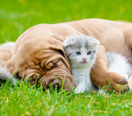 dog and cat: Closeup sleeping Bordeaux puppy dog hugs newborn kitten on green grass