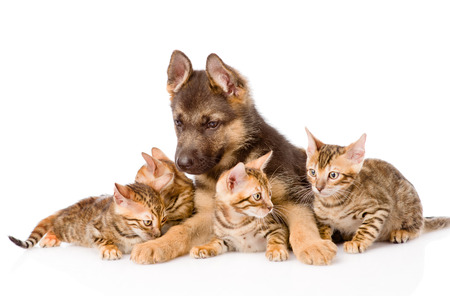 prionailurus: german shepherd puppy lying with bengal kittens. isolated on white background