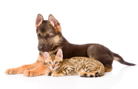 prionailurus: german shepherd puppy and bengal kitten lying in profile. isolated on white background