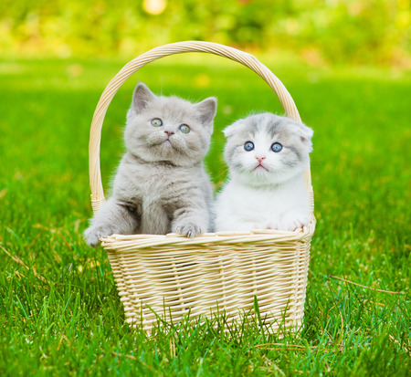 two kittens in basket on green grass photo