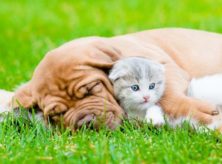 Sleeping Bordeaux puppy dog hugs newborn kitten on green grass photo