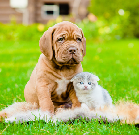 small group: Bordeaux puppy dog and newborn kitten sitting together on green grass