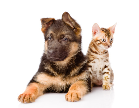 prionailurus: bengal cat and german shepherd puppy dog looking at camera. isolated on white background