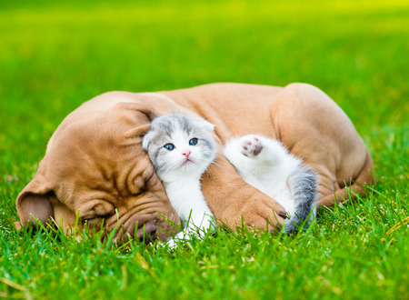 Sleeping Bordeaux puppy dog hugs newborn kitten on green grass