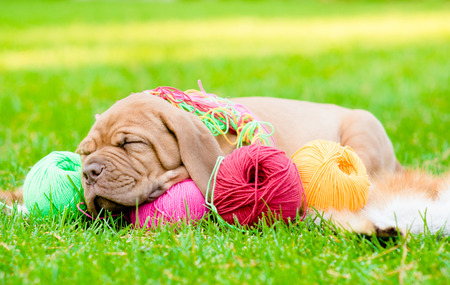 puppy sleeping with clews of thread on green grass photo