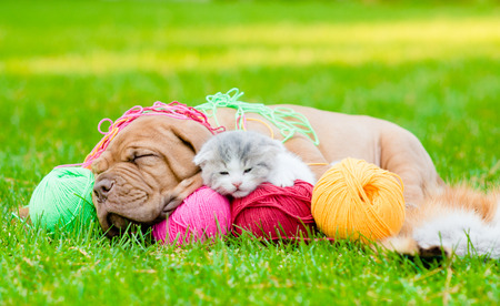 Bordeaux puppy dog and newborn kitten sleeping together on green grass