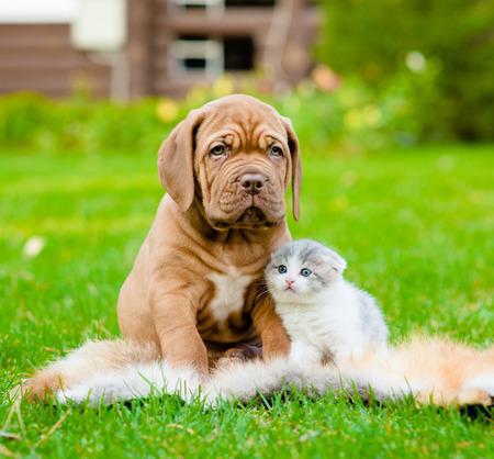 summer dog: Bordeaux puppy dog and newborn kitten sitting together on green grass