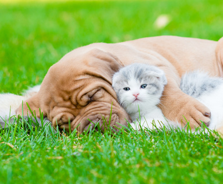 Closeup sleeping Bordeaux puppy dog hugs newborn kitten on green grass photo
