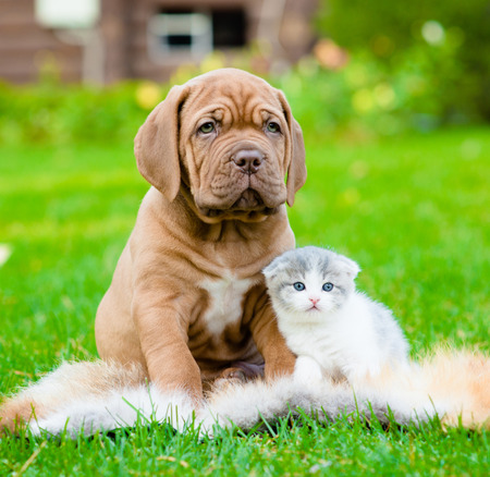 whelp: Bordeaux puppy dog and newborn kitten sitting together on green grass