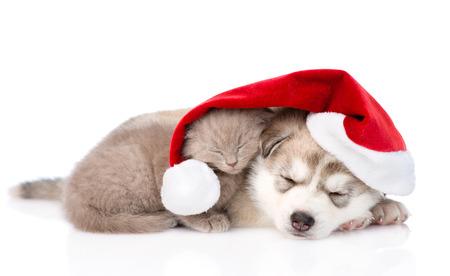 husky: sleeping scottish kitten and Siberian Husky puppy with santa hat. isolated on white background
