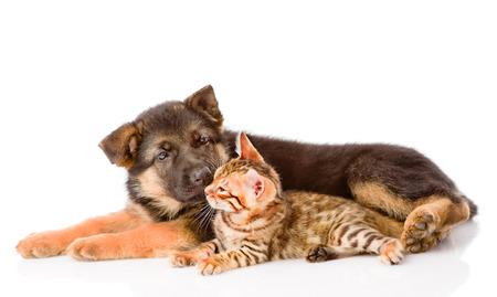 prionailurus: german shepherd puppy dog sniffs bengal cat. isolated on white background