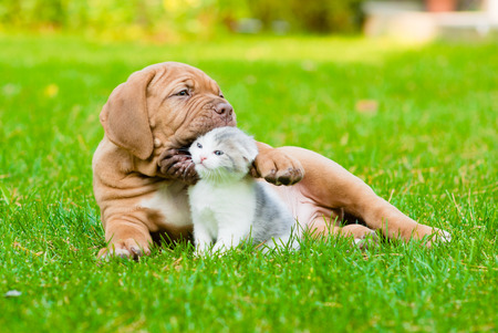 cats playing: Bordeaux puppy dog playing with kitten on green grass