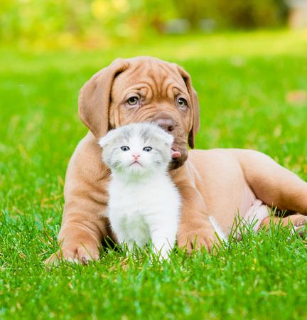 Bordeaux puppy dog with newborn kitten on green grass photo