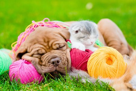 closeup puppy: Bordeaux puppy dog and newborn kitten sleeping on the colored tangles on green grass