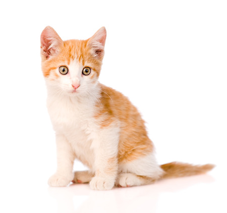 pussy yellow: small orange tabby kitten. isolated on white background