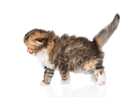 lop eared: walking Scottish kitten. isolated on white background Stock Photo
