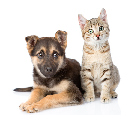 dog and cat: dog and  kitten. looking at camera. isolated on white background