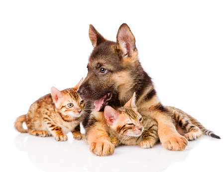 german shepherd puppy lying with bengal kittens. isolated on white background photo
