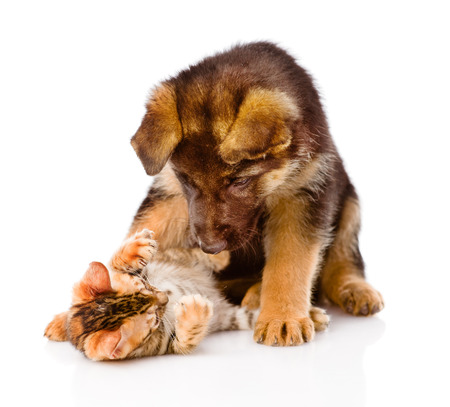 clutches: german shepherd puppy dog playing with little bengal cat. isolated on white background