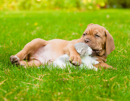 Bordeaux puppy dog kisses kitten photo