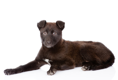 black crossbreed dog lying. isolated on white background photo