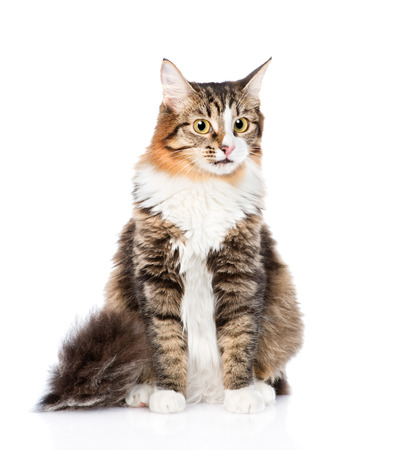 interested: Siberian cat sitting in front. isolated on white background