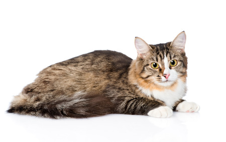 lying on side: Siberian cat lying in profile. isolated on white background