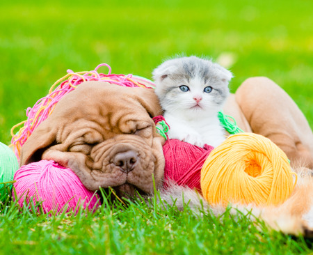 Sleeping Bordeaux puppy dog and newborn kitten on the colored tangles on green grass photo