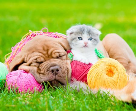 Dormir Burdeos cachorro de perro y gatito recién nacido en los ovillos de colores sobre la hierba verde
