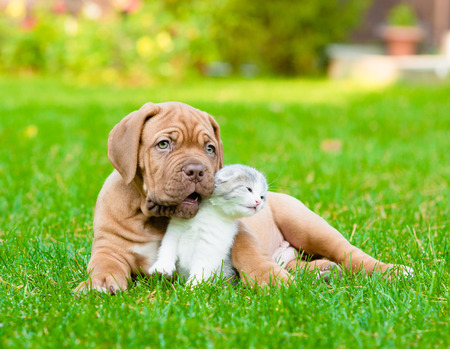 Bordeaux puppy dog with newborn kitten on green grass photo