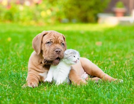 bordeaux dog: Bordeaux puppy dog with newborn kitten on green grass
