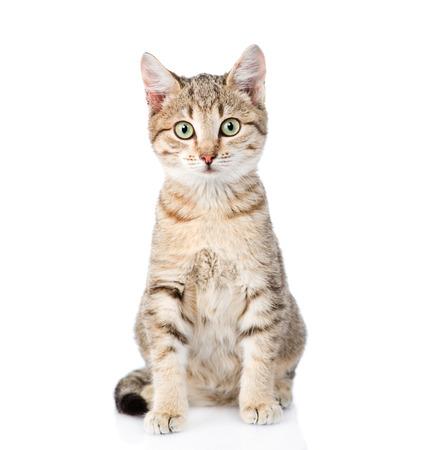 고양이 앞에 앉아 카메라를 찾고. 흰색 배경에 고립