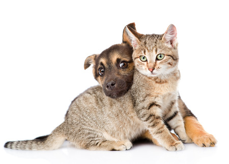 puppy playing with tabby cat. isolated on white background