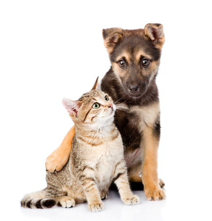puppy: crossbreed dog embracing small tabby cat. isolated on white background