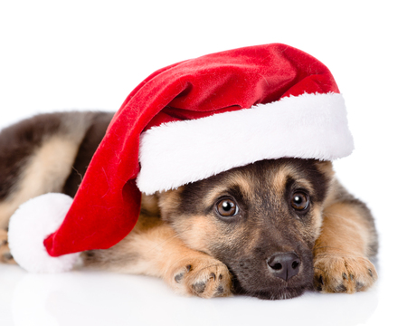 closeup sad puppy with santa hat. isolated on white background photo