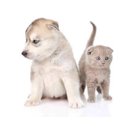 scottish kitten and Siberian Husky puppy sitting together. isolated on white background photo