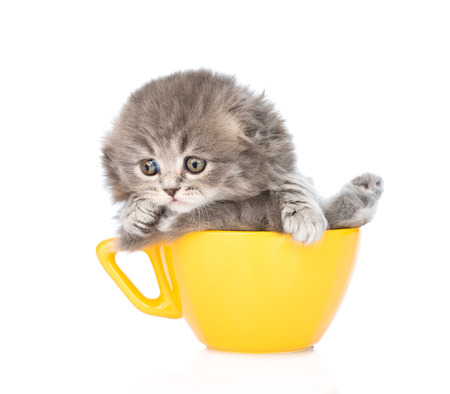 lop eared: gray scottish kitten in large cup. isolated on white background