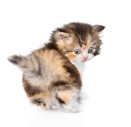 calico: Scottish kitten looking back. isolated on white background