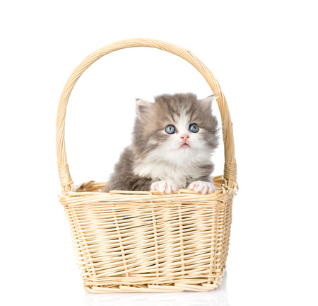 lop eared: little scottish kitten sitting in basket. isolated on white background