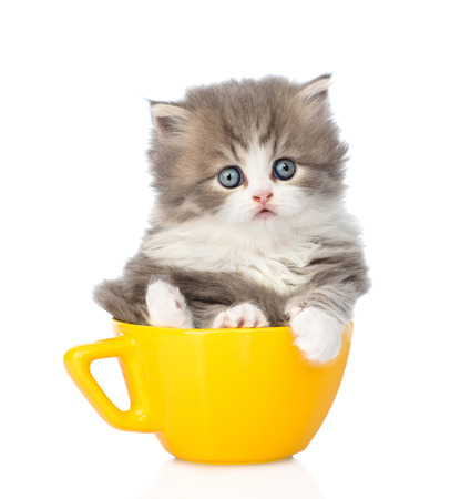 lop eared: scottish lop-eared kitten in large cup. isolated on white background