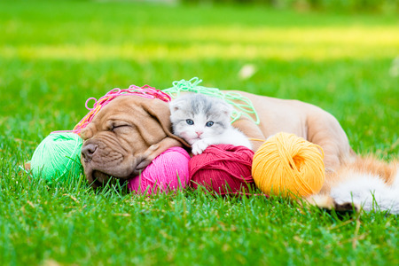 bordeaux mastiff: Bordeaux puppy dog and newborn kitten sleeping together on green grass