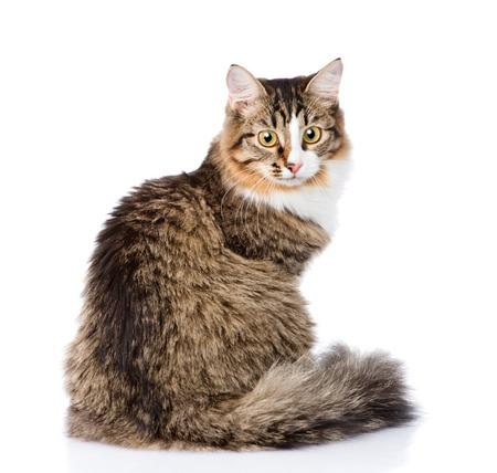 シベリア猫プロファイルで座っているとカメラ目線します。白い背景に分離
